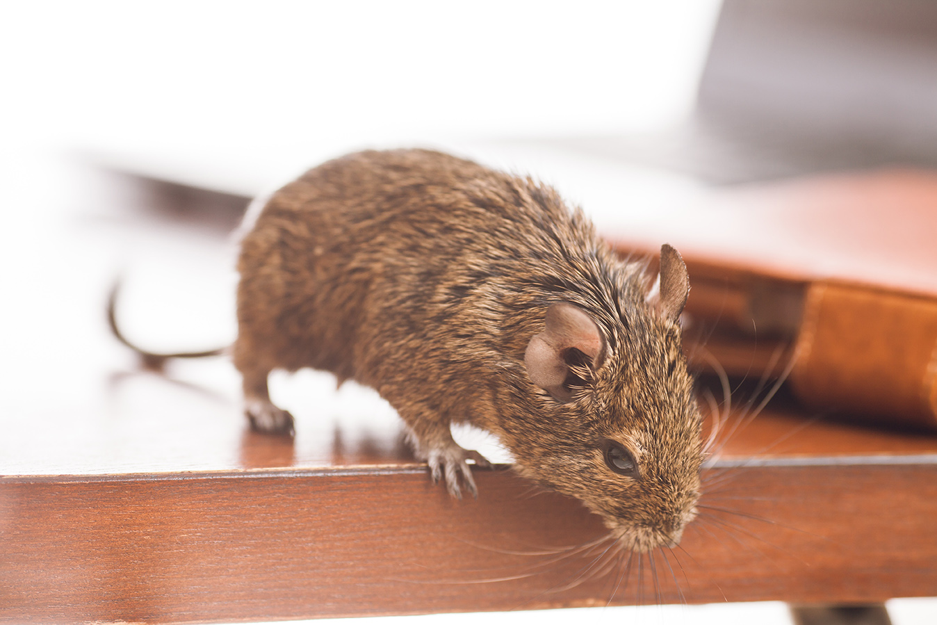 Eek! New Survey Finds More Than One-Third of American Homeowners Have Spotted a Rodent in Their Home in the Past Year